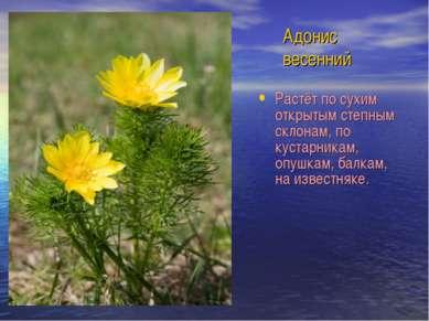 Адонис весенний Растёт по сухим открытым степным склонам, по кустарникам, опу...