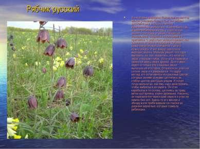 Рябчик русский В некоторых деревнях Поволжья до сих пор можно услышать быль о...