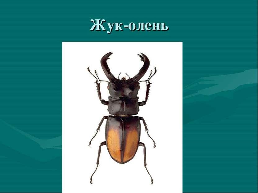 Жук-олень