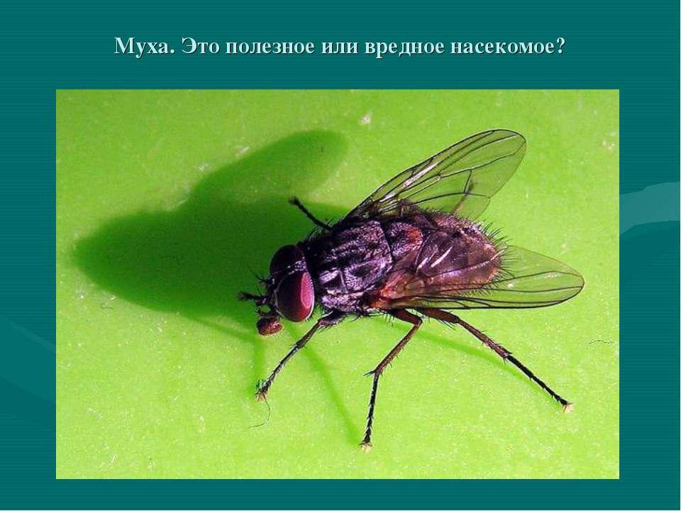 Муха. Это полезное или вредное насекомое?