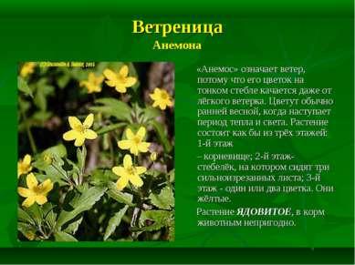 Ветреница Анемона «Анемос» означает ветер, потому что его цветок на тонком ст...