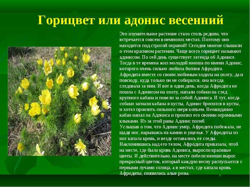 Горицвет или адонис весенний Это изумительное растение стало столь редким, чт...