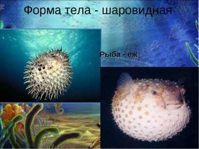 Форма тела - шаровидная Рыба - еж
