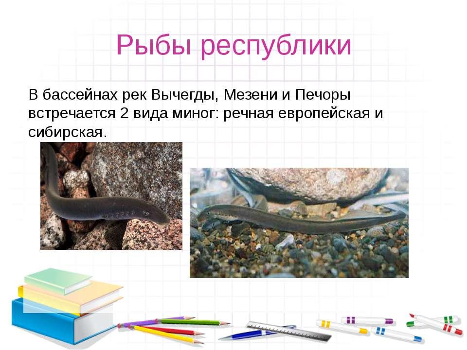 Рыбы республики В бассейнах рек Вычегды, Мезени и Печоры встречается 2 вида м...