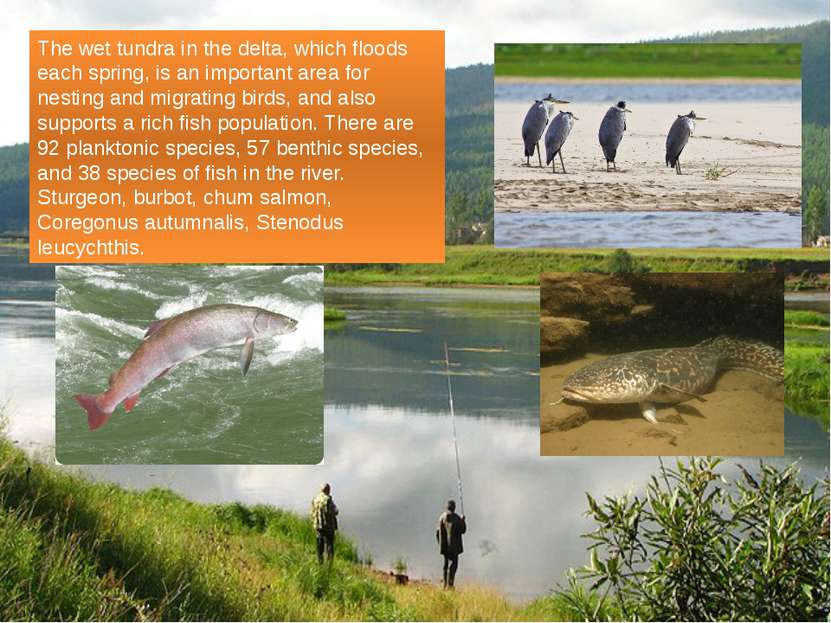 The wet tundra in the delta, which floods each spring, is an important area f...