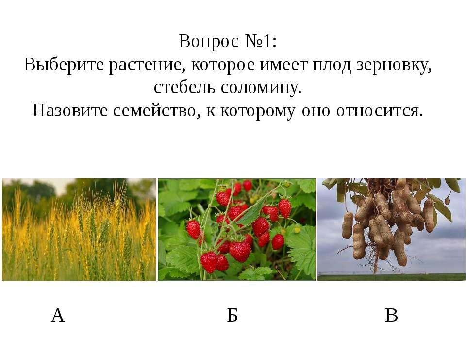 Вопрос №1: Выберите растение, которое имеет плод зерновку, стебель соломину. ...