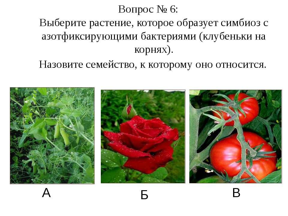 А Б В Вопрос № 6: Выберите растение, которое образует симбиоз с азотфиксирующ...