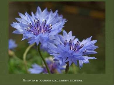 На полях и полянках ярко синеют васильки.