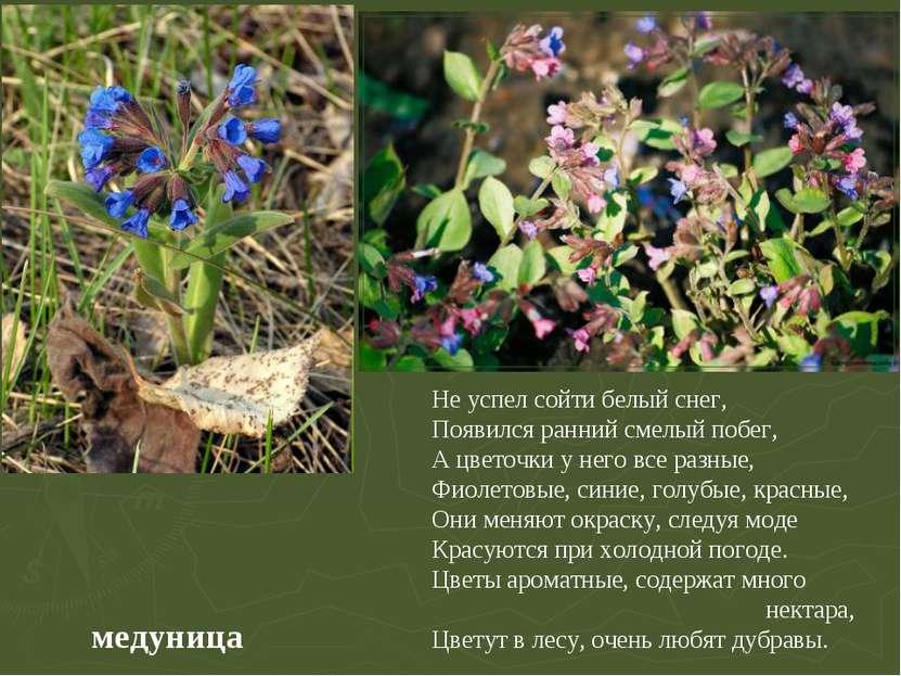медуница Не успел сойти белый снег, Появился ранний смелый побег, А цветочки ...