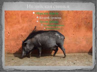 Индийская свинья.