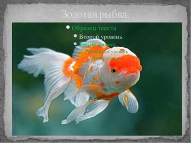 Золотая рыбка.