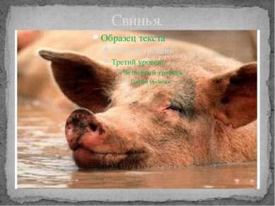 Свинья.