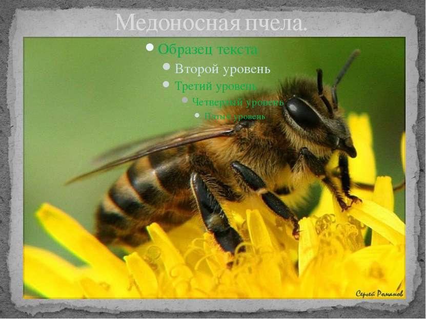Медоносная пчела.