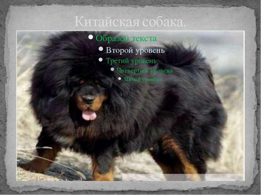 Китайская собака.