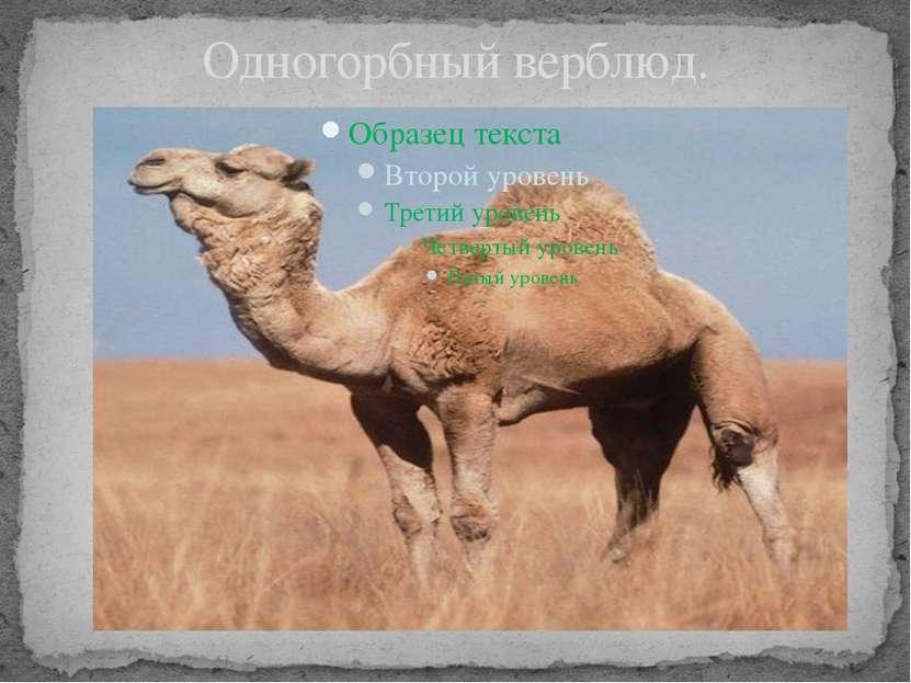 Одногорбный верблюд.
