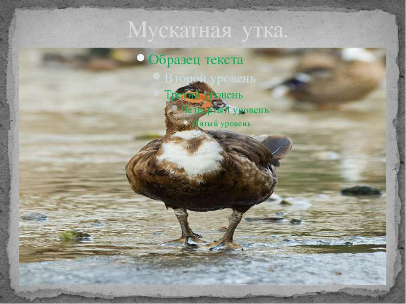 Мускатная утка.