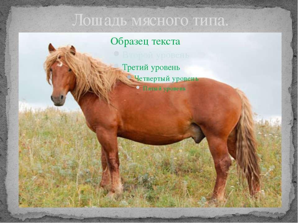 Лошадь мясного типа.
