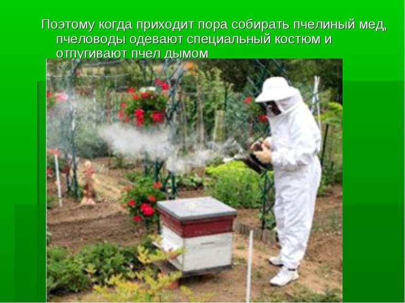 Поэтому когда приходит пора собирать пчелиный мед, пчеловоды одевают специаль...