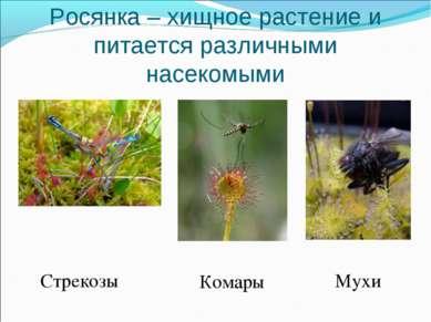 Росянка – хищное растение и питается различными насекомыми Стрекозы Комары Мухи