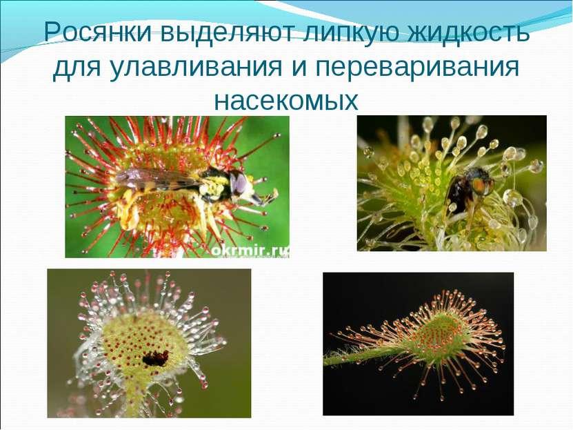 Росянки выделяют липкую жидкость для улавливания и переваривания насекомых