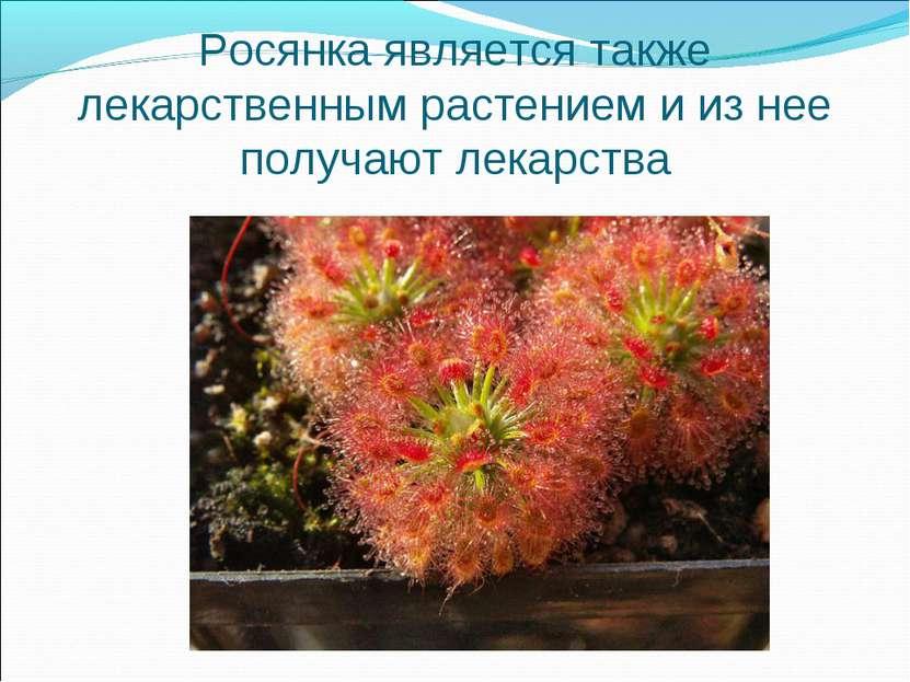 Росянка является также лекарственным растением и из нее получают лекарства