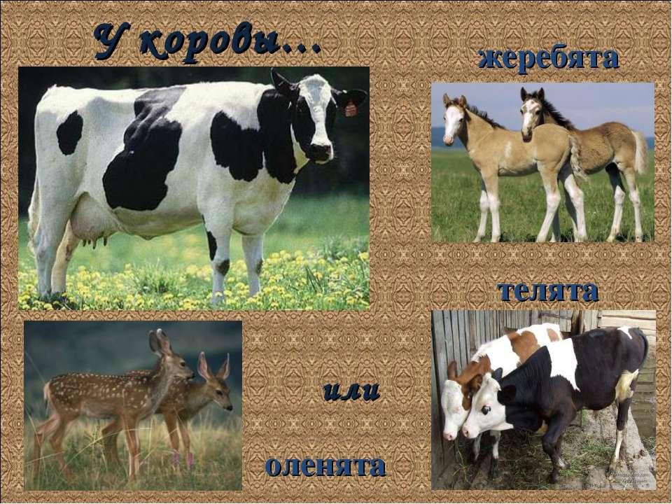 У коровы… жеребята телята оленята или