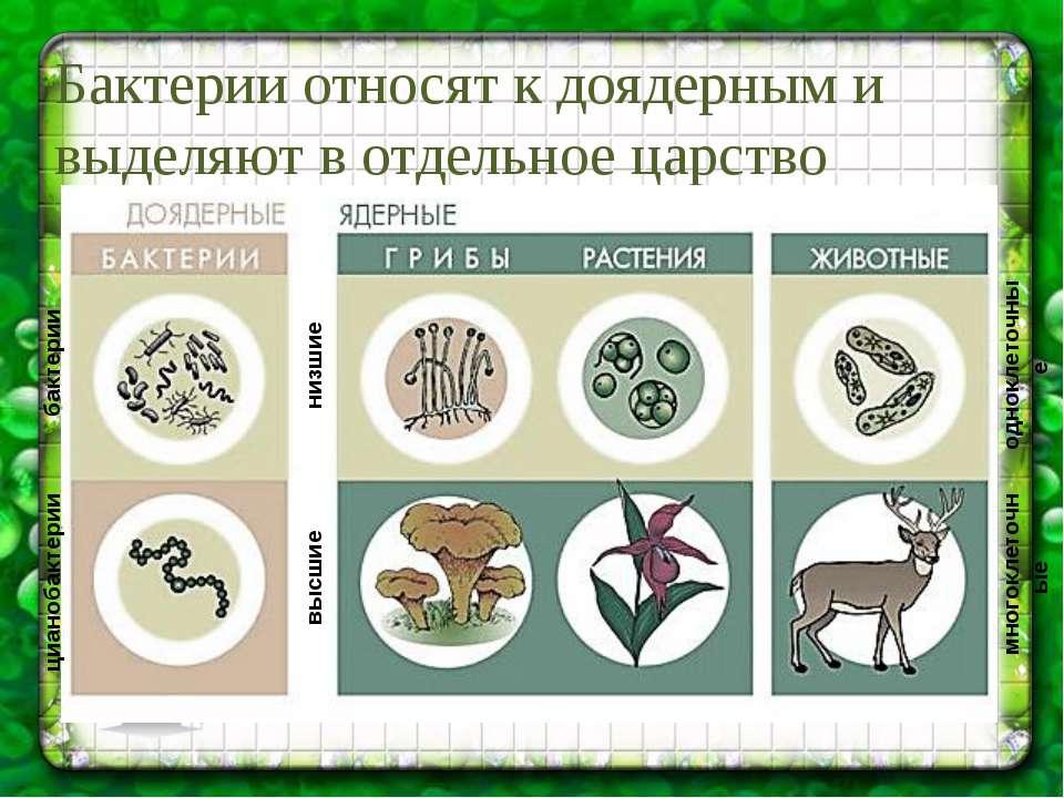 Бактерии относят к доядерным и выделяют в отдельное царство цианобактерии бак...