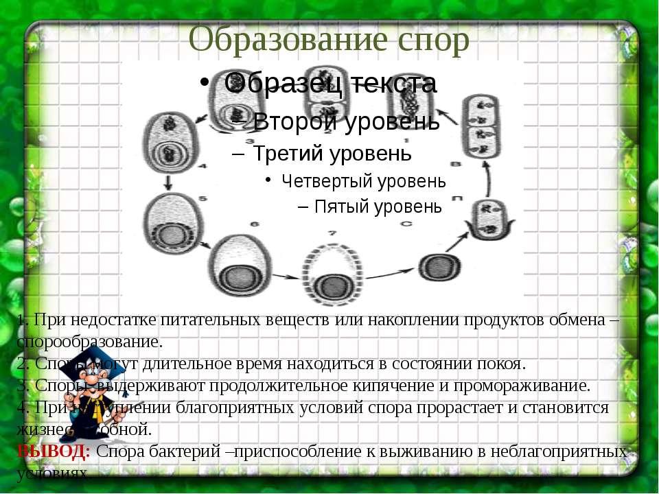 Образование спор 1. При недостатке питательных веществ или накоплении продукт...