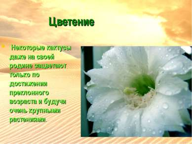 Цветение Некоторые кактусы даже на своей родине зацветают только по достижен...
