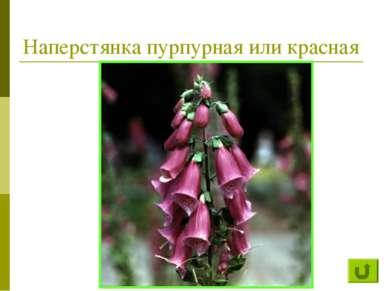 Наперстянка пурпурная или красная