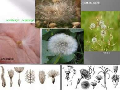 семянка - летучка асклепида латук бодяк полевой