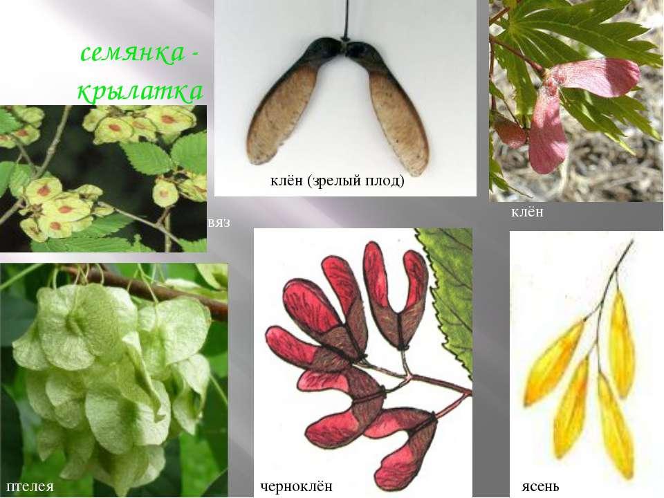 семянка - крылатка вяз клён (зрелый плод) клён ясень черноклён птелея