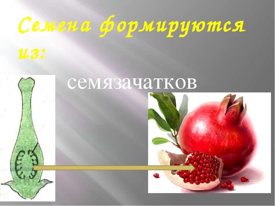 Семена формируются из: семязачатков
