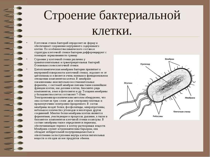 Строение бактериальной клетки. Клеточная стенка бактерий определяет их форму ...