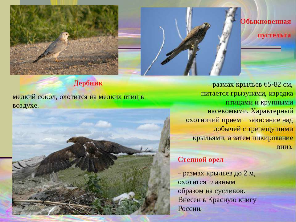 Обыкновенная пустельга – размах крыльев 65-82 см, питается грызунами, изредка...