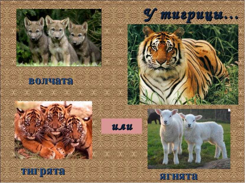 У тигрицы… волчата тигрята ягнята или
