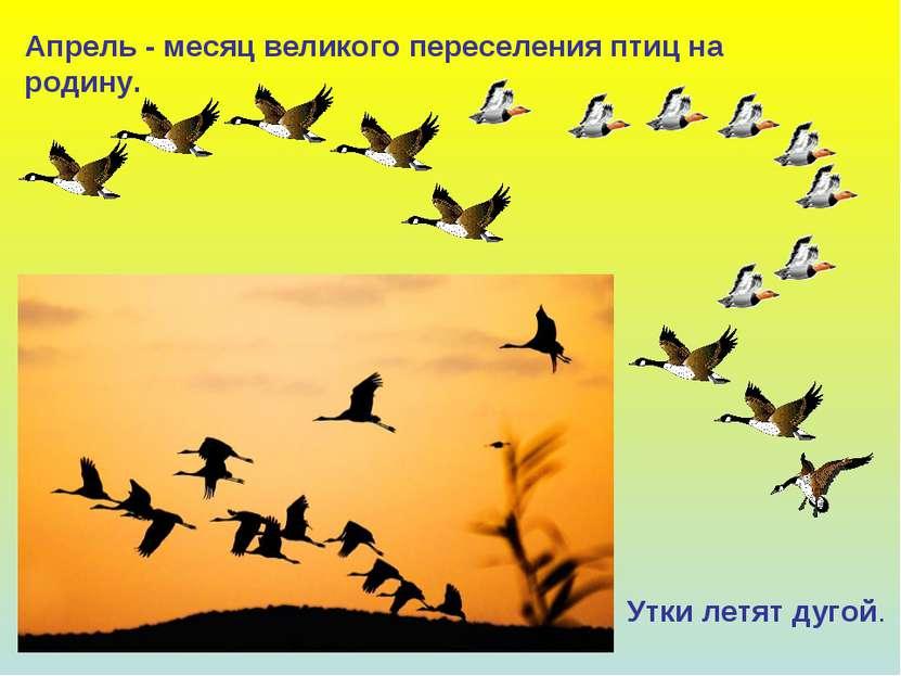 Апрель - месяц великого переселения птиц на родину. Утки летят дугой.