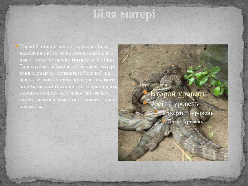 Біля матері Перші 5 тижнів молодь крокодилів під наскільки пильним наглядом с...