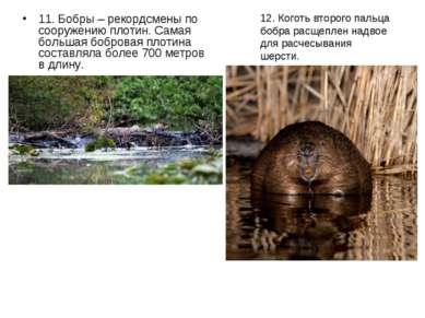 11. Бобры – рекордсмены по сооружению плотин. Самая большая бобровая плотина ...