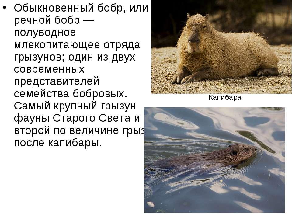 Обыкновенный бобр, или речной бобр — полуводное млекопитающее отряда грызунов...