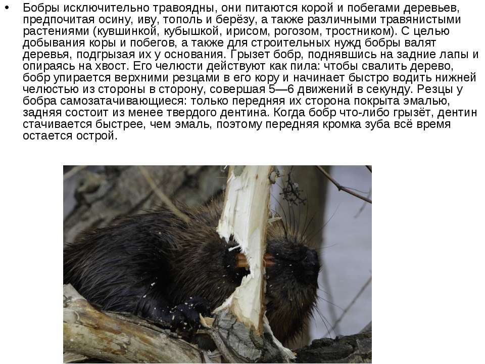 Бобры исключительно травоядны, они питаются корой и побегами деревьев, предпо...