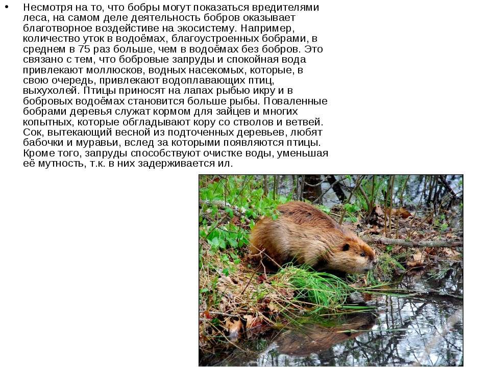 Несмотря на то, что бобры могут показаться вредителями леса, на самом деле де...
