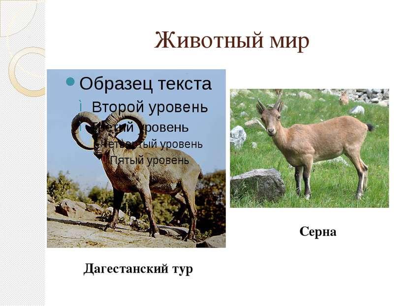 Животный мир Дагестанский тур Серна