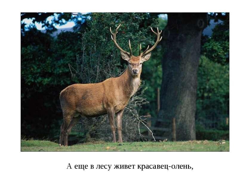 А еще в лесу живет красавец-олень,