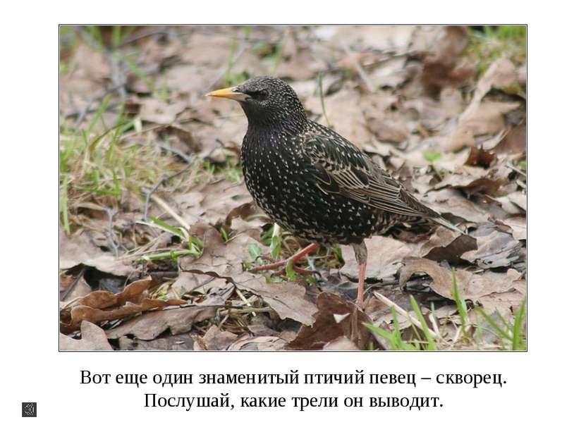 Вот еще один знаменитый птичий певец – скворец. Послушай, какие трели он выво...