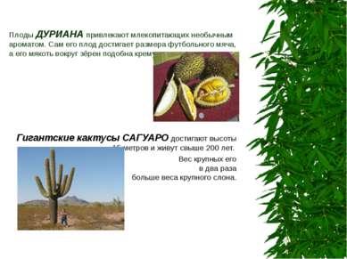 Плоды ДУРИАНА привлекают млекопитающих необычным ароматом. Сам его плод дости...