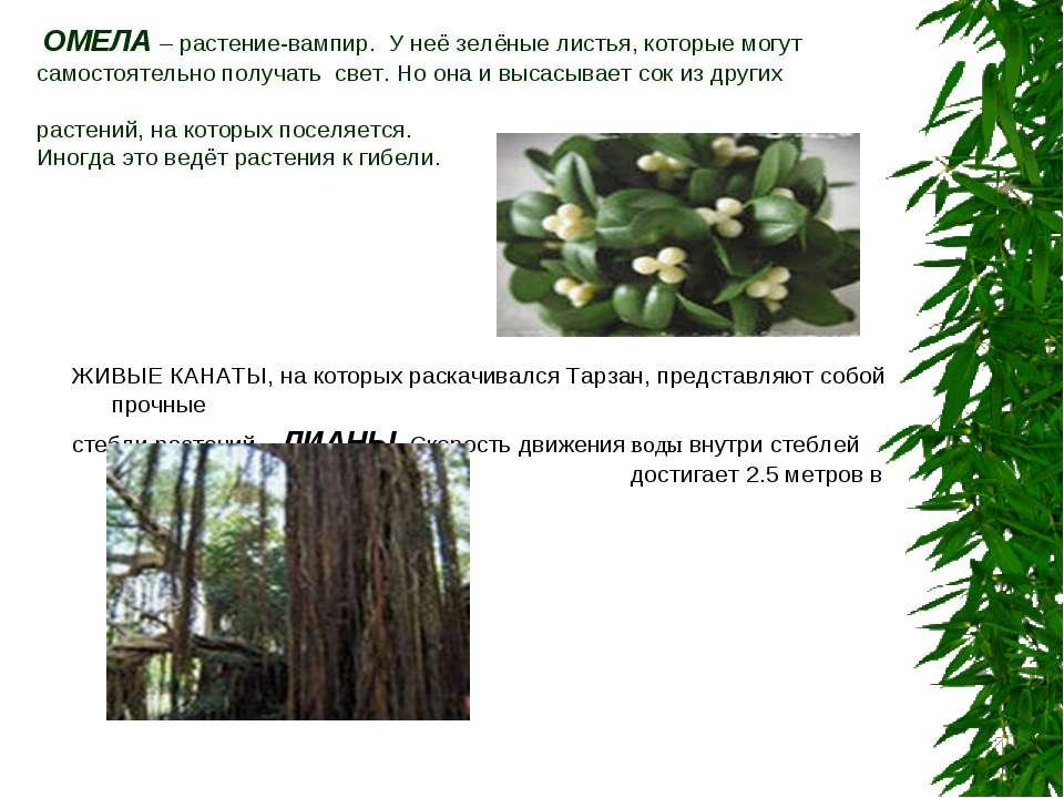 ОМЕЛА – растение-вампир. У неё зелёные листья, которые могут самостоятельно п...