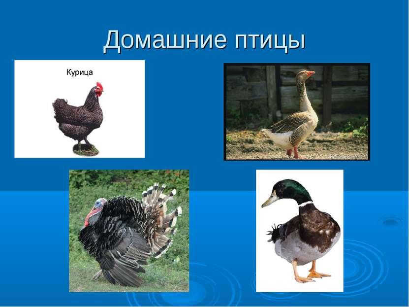 Домашние птицы