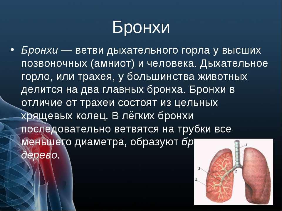 Бронхи Бронхи — ветви дыхательного горла у высших позвоночных (амниот) и чело...