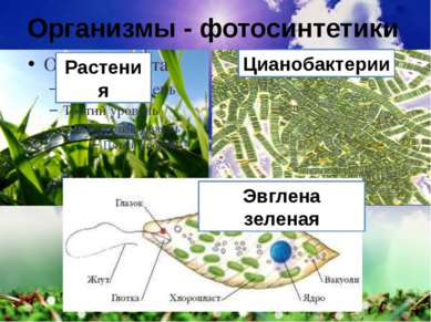 Организмы - фотосинтетики Растения Цианобактерии Эвглена зеленая